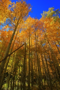 Gold Aspens_in_the_Fall