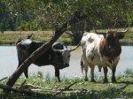 El Dorado Cattle Co
